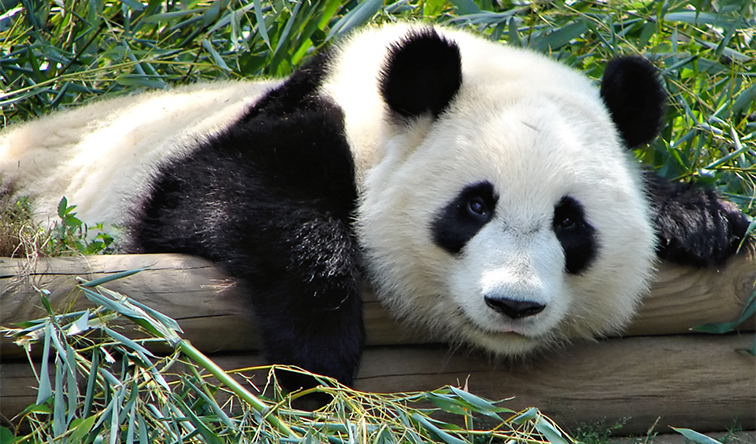 10 Interesting Facts about Giant Pandas